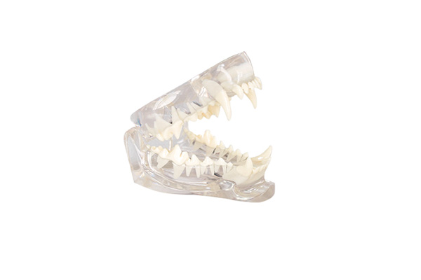 tooth Jaw model Veterinary