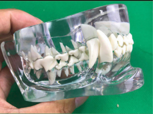 tooth Jaw model Veterinary  - 副本